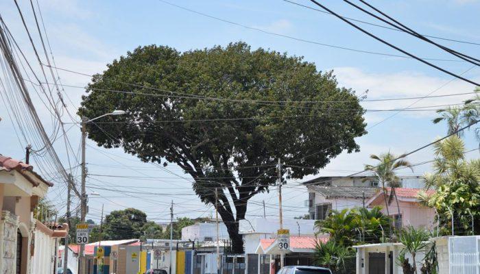 arbol caoba fundacion la iguana